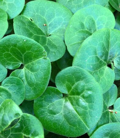 Rounded green leaves of Asiatic pennywort