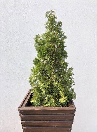 Cypress cedar tree branch. Thuja occidentalis bush in in a pot