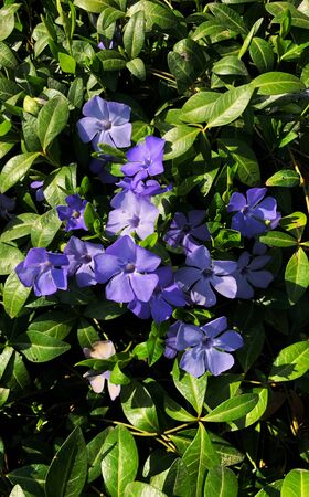 Small periwinkle. beautiful purple flowers of vinca on background of green leaves. Foto de archivo