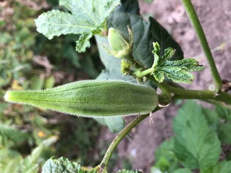 Lady Fingers or Okra vegetable on plant in farm