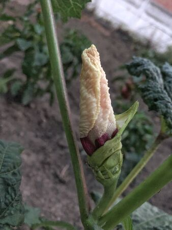 white Okra plant and flower closeup picture