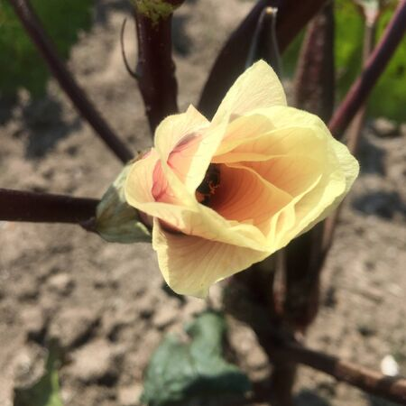 red okra flower on the background of the garden
