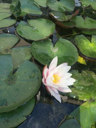 pink water lily with lotus leaf on pond