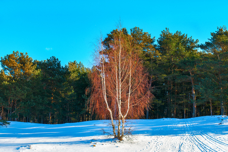 Winter day, sunny, pine forest. Birch on the snow-covered hillside.