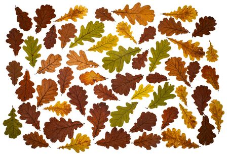 Fallen dry oak leaves laid out on a white background.