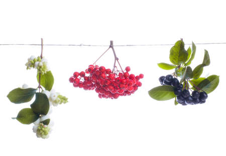 Berries, fruits and leaves snowberry, rowanberry, aronia strung on a rope Archivio Fotografico