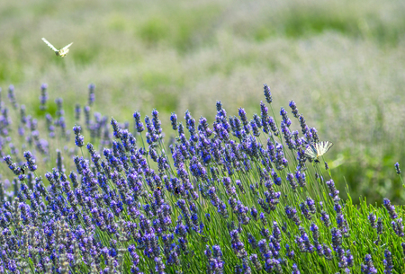 lavender coloured: White coloring butterfly flies on the lavender flowers in summer