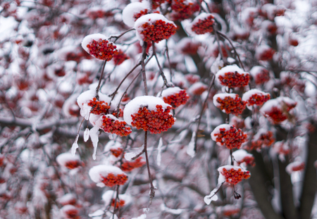 rowanberry: Snowy bunches of red rowanberry in winter