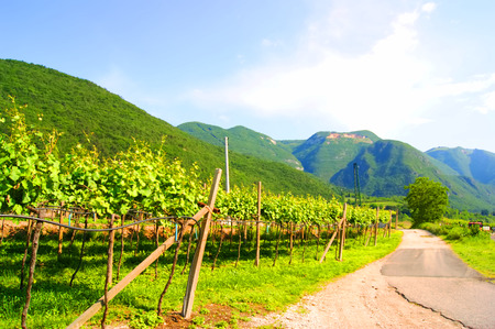 Vineyards in Italy, landscape, nature photo