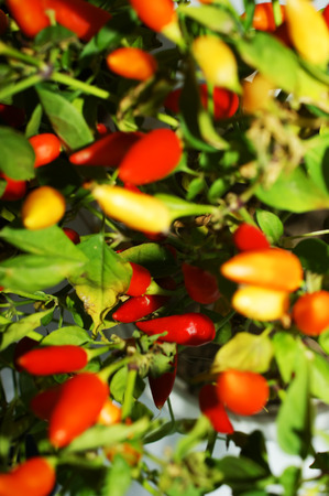 chilli peppers grows, bright colorful background photo