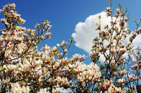 magnolia soulangeana: Magnolia soulangeana. Flowers magnolia