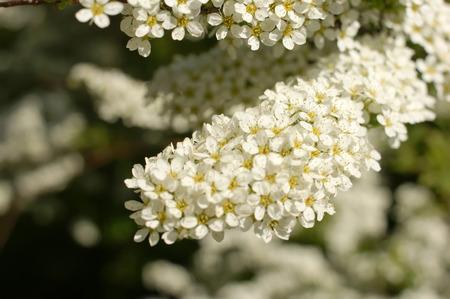 Gray Grefsheim, Spiraea cinerea Zabel, blossoming Spirey, Spirea