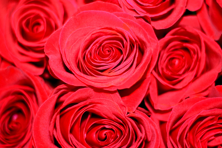 a lot of beautiful scarlet roses Stock Photo