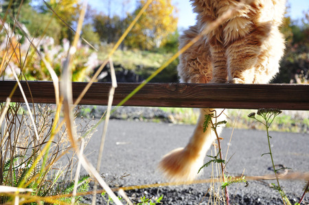 lion tail: ginger cat sitting on the bench with his tail down Stock Photo