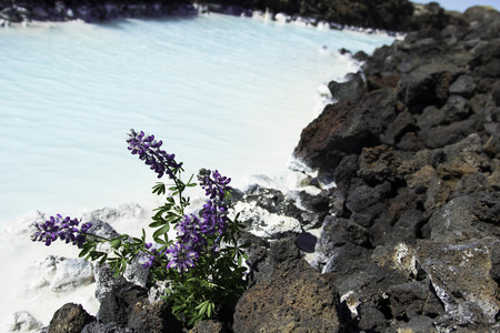 Blue lagoon spa in Iceland surrounded with lava stones and lupine flowers