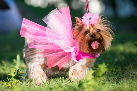 a dog in a wedding dress posing outdoors