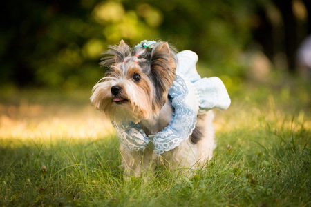 A dog in a beautiful tender dress in the grass Stock Photo