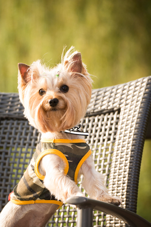 Little dog in clothes for a walk  Stock Photo