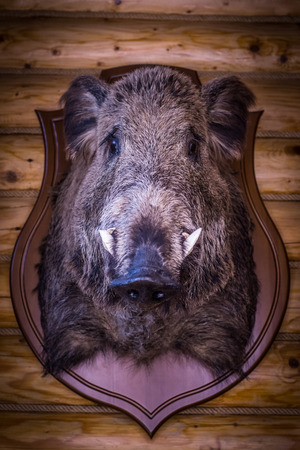 The head of a wild boar hangs on a hunters wall