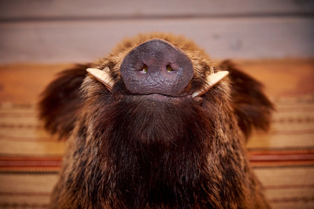 Snout of a wild boar with fangs Stock Photo