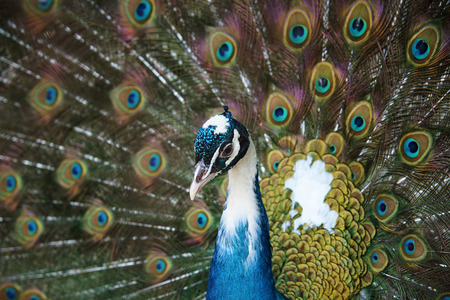Peacock with a sprawled tail close-up.