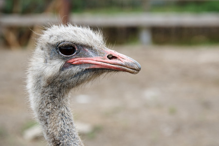 Funny ostrich head closeup with big eye and pink beak.