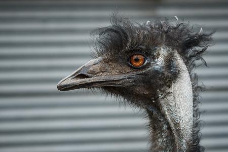 Head of a funny ostrich emu close-up. Stock Photo