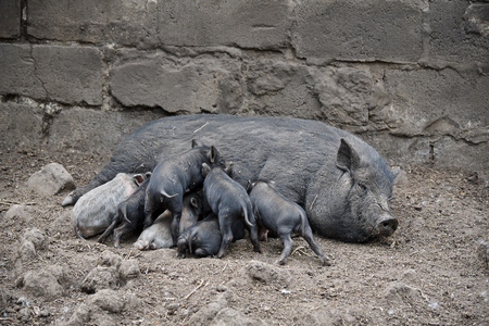 Pig with small pigs in the pen. 写真素材