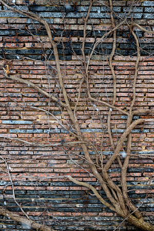 Climbing plants with dry berries on a brick wall.