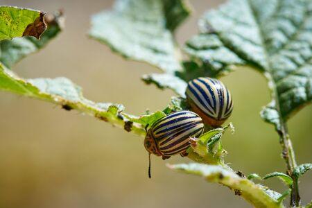 Colorado beetle on potato leaves.
