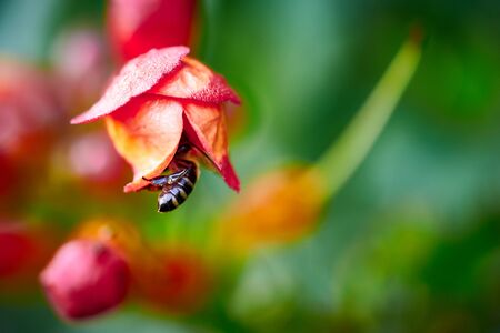 Macro of a flower with a bee on a blurred background.Copy space.