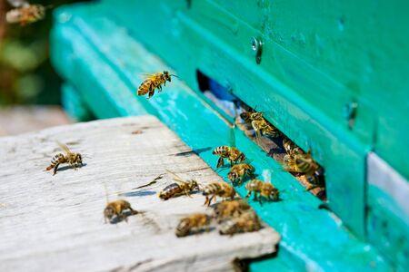 Honey bee flies to a wooden beehive.