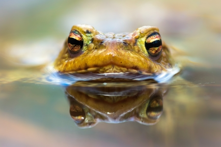 Macro shot of a  male toad in water photo