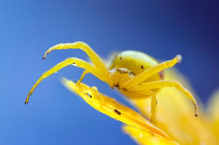 vatia: This ambush hunter sits on marigold and waits for a visiting insect