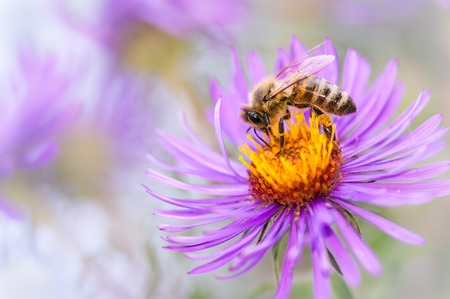 bee flower: Honeybee collecting pollen from an Aster flower  Stock Photo