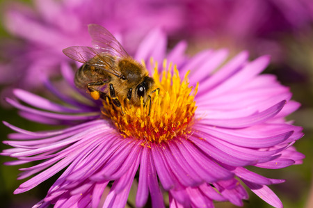 Honeybee collecting pollen from an Aster flower  Stock Photo - 25970647