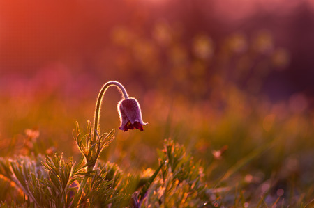 Pasque flower in early morning. photo