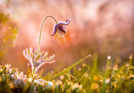 Pasque Flower In Morning Light photo