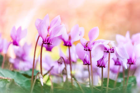 Pink cyclamen flowers  photo