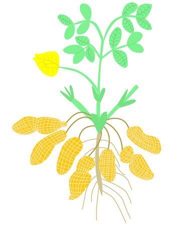 Vector illustration, simplified diagram of the structure of a peanut Bush with stems, leaves, nuts, roots. The concept is botany.
