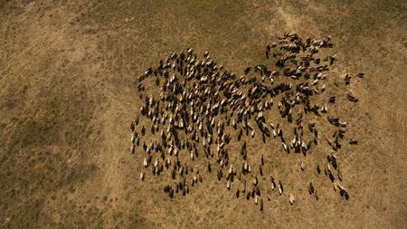 Herd of sheep grazing top view Reklamní fotografie