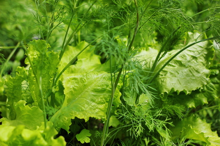 dill and parsley: lettuce, dill, parsley