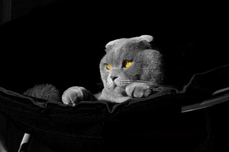 amber coloured: photoshoot scottish fold cat Stock Photo