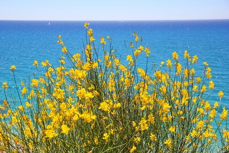 against: Bush with yellow flowers against the sea Stock Photo