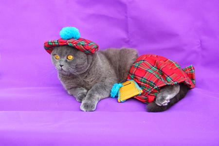 Scottish fold cat Scottish dress Stock Photo