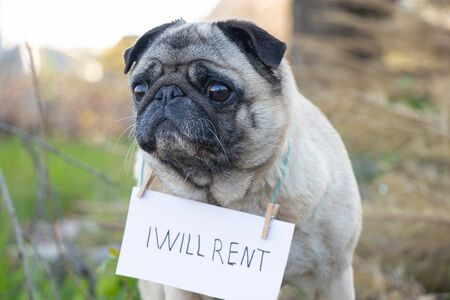 a pug dog with a sign on his neck I will lease in English, during the quarantine period to walk