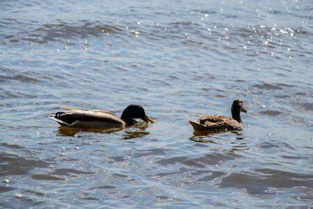 wild ducks swim in the Dnieper river on a sunny