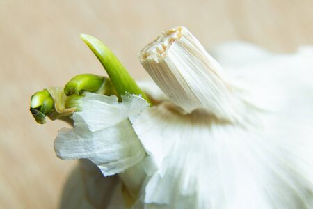 sprouted garlic on an isolated background close-up
