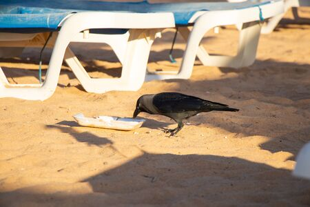 crows on the beach swarm in the trash in egypt Banque d'images