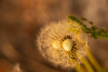 dandelion at sunset in spring close-up Foto de archivo